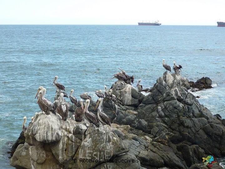 Pelicanos - Vina del Mar - Chile